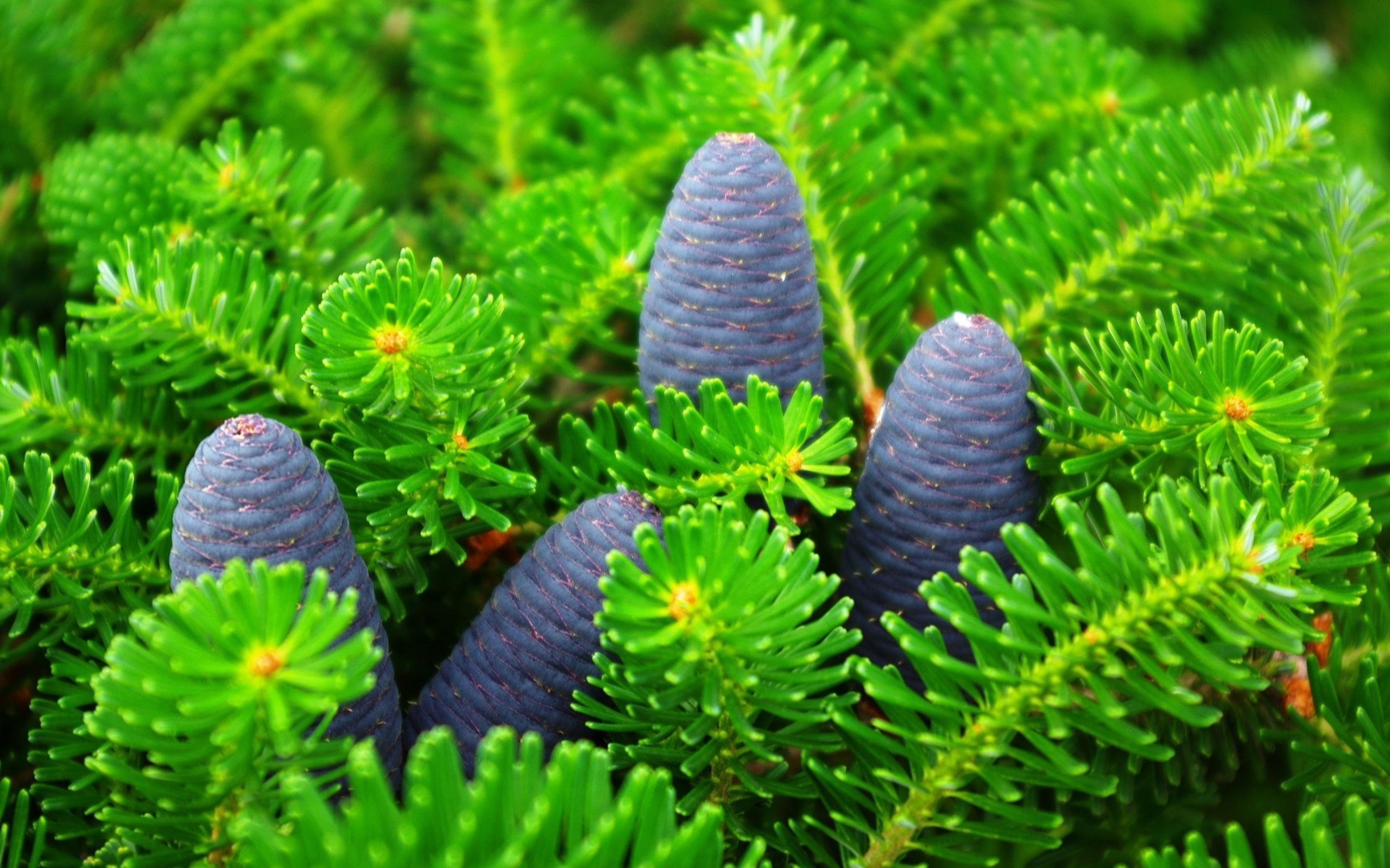 nature-green-pine-and-cones-backgrounds-wallpapers